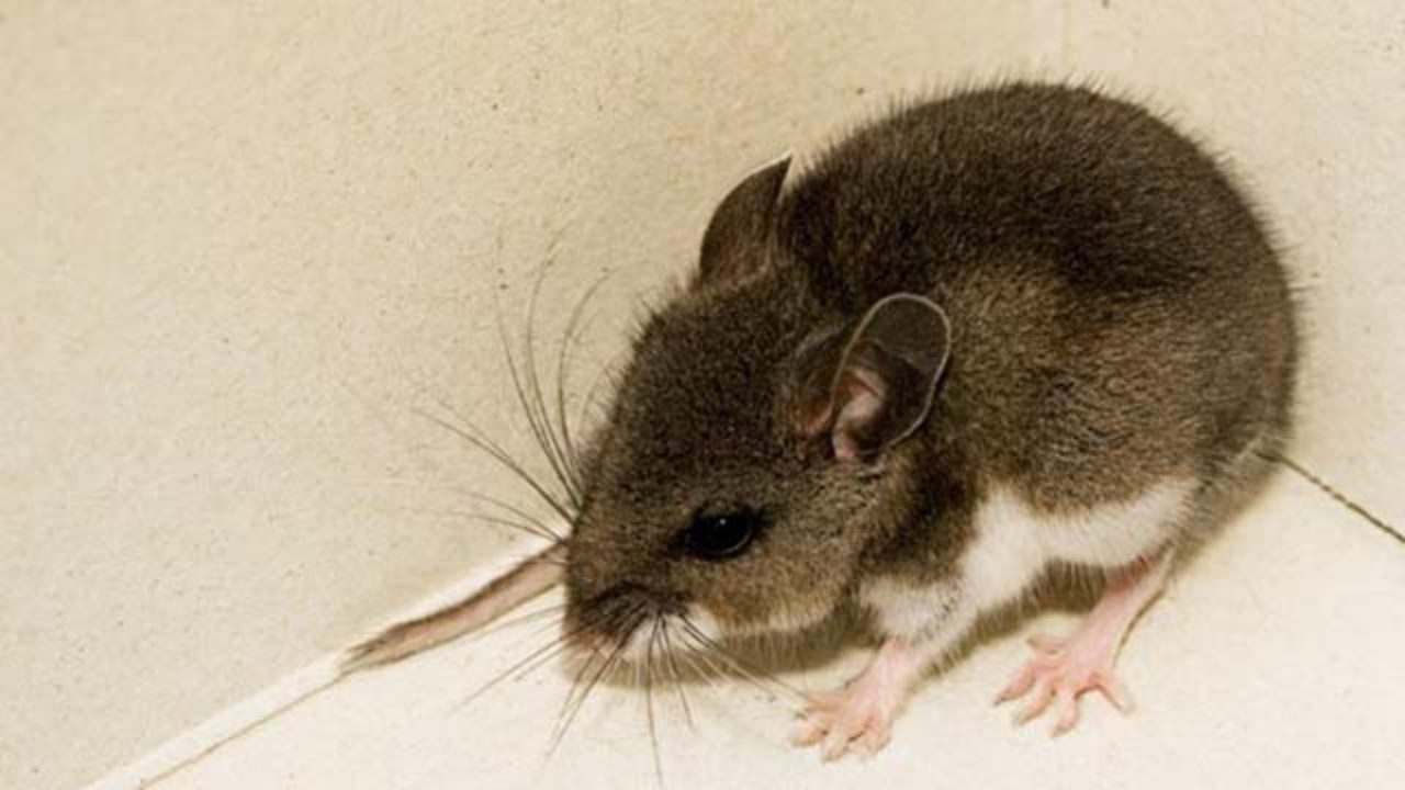 Potentially Deadly Hantavirus Found in Warner Springs Deer Mouse ...
