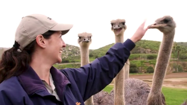A keeper at the San Diego Zoo pets an ostrich
