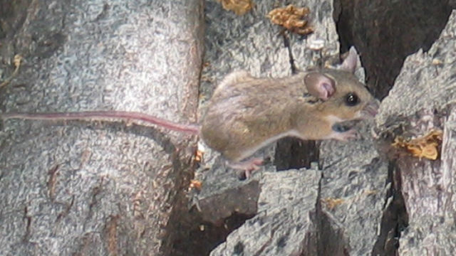 County Vector Control Finds Mouse in Julian Infected with Deadily ...