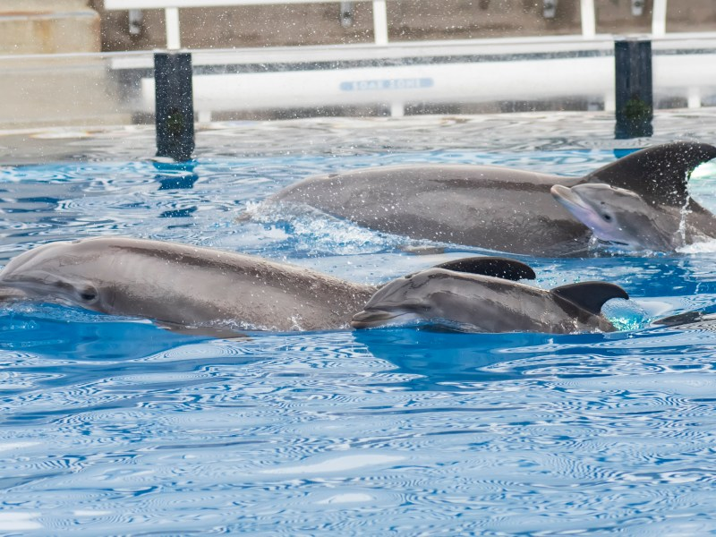 SeaWorld dolphins and calves