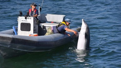This 44-year-old dolphin, part of the Navy's marine mammal program, interacts with a trainer.