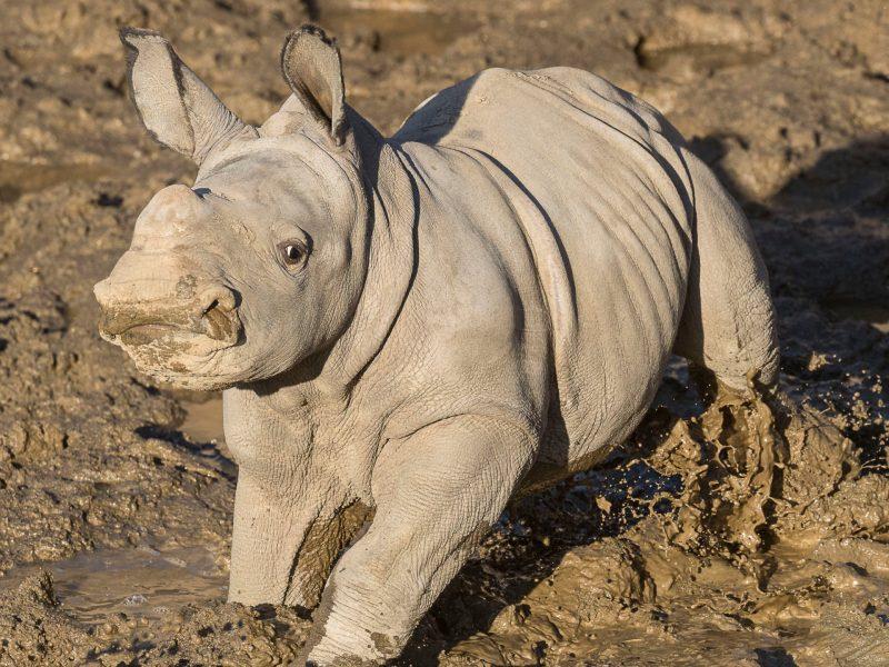 Southern White Rhino Future