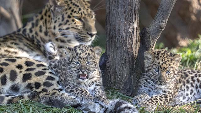 Endangered Amur leopard cubs born at the San Diego Zoo two months ago to Satka are now viewable to zoo guests.