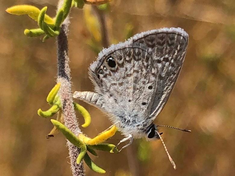 Ceraunus blue.