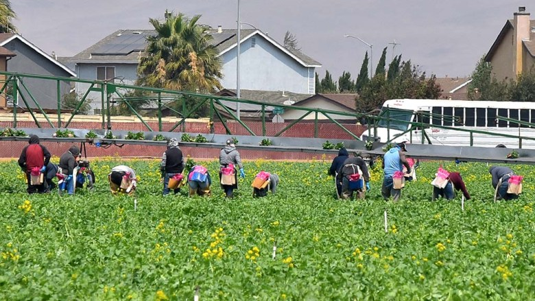 Farmworkers pick broccoli in the Salinas Valley.