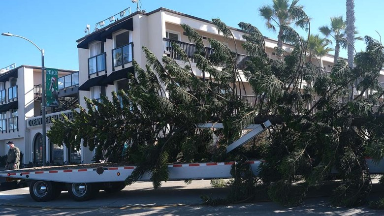 This year's Ocean Beach Christmas tree, harvested from Del Mar Avenue, is brought to the beach on a flatbed truck.