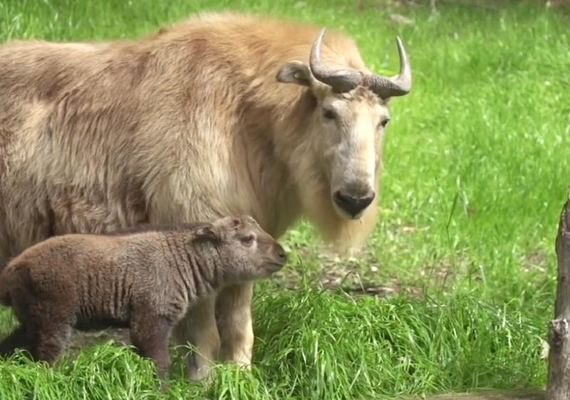 The Golden Takin calf Mei Ling