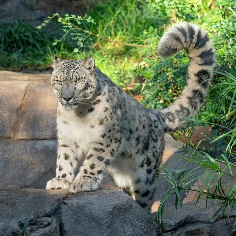 Snow leopard COVID-19