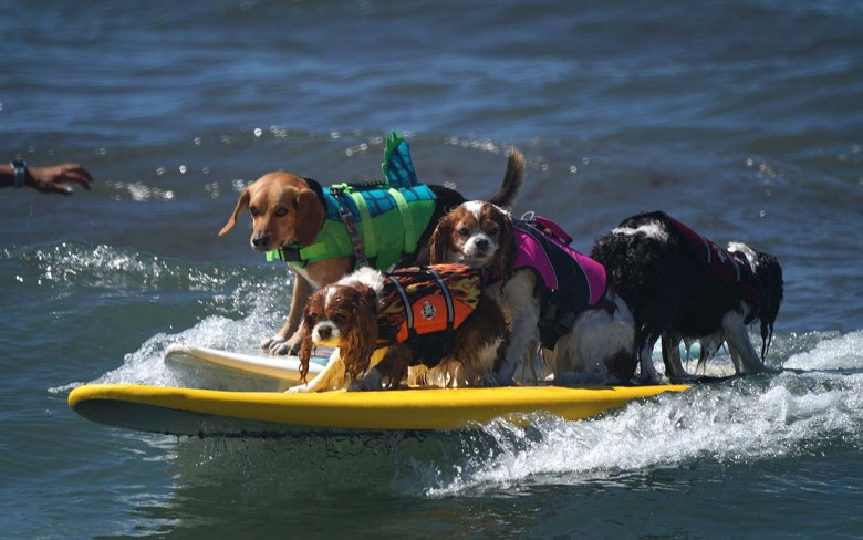 A trio of related Nova Scotia Duck Tolling Retrievers and Bugle the Beagle share a wave. Photo by Chris Stone