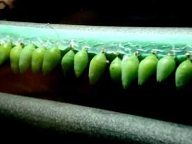 Vancouver Aquarium - A row of chrysalises in the Amazonian exhibit.