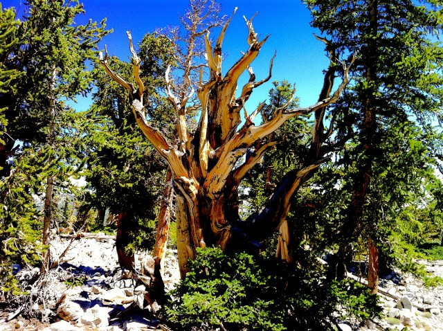 The bristlecone pine tree has deep roots that don't wither.