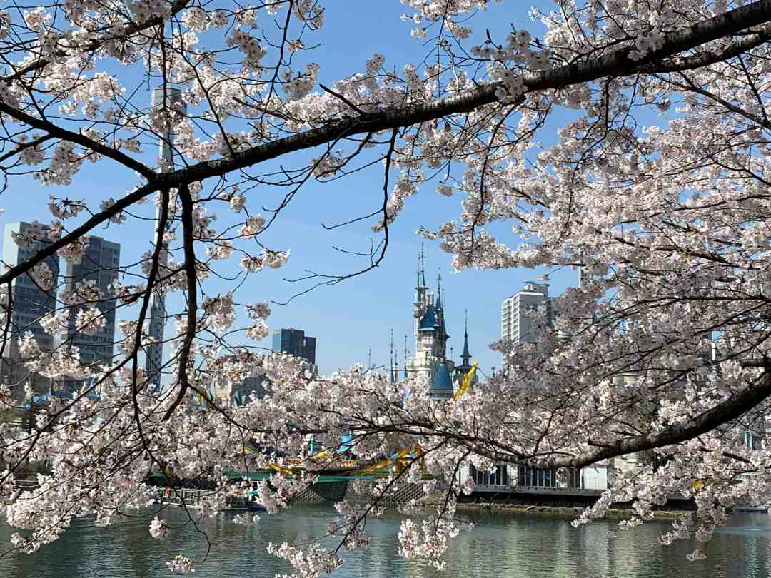 Seokchon Lake cherry blossoms Seoul