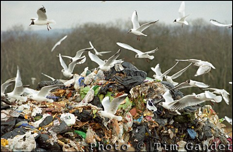 seagulls flocking on landfill tip site or trash and rubbish