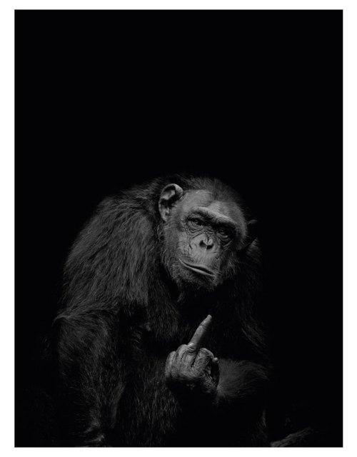 timhenning-chimpanzee-30x40cm