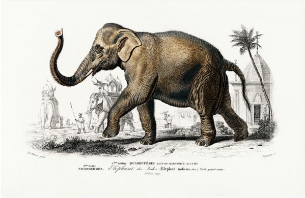 Asiatic elephant (Elephas maximus)
