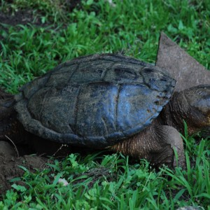 Snapping Turtle Lays Eggs