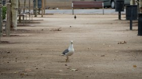 Seriously, this gull could have taken on a small hawk