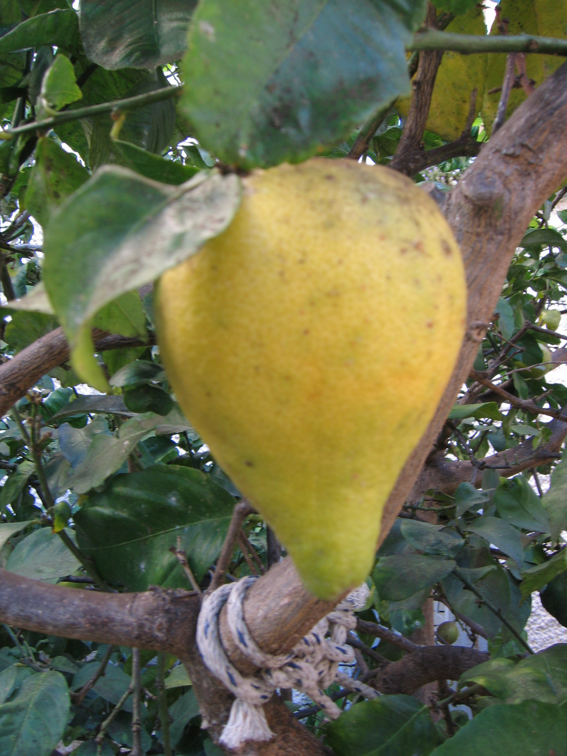 Lemon as Pear | TIMnovate