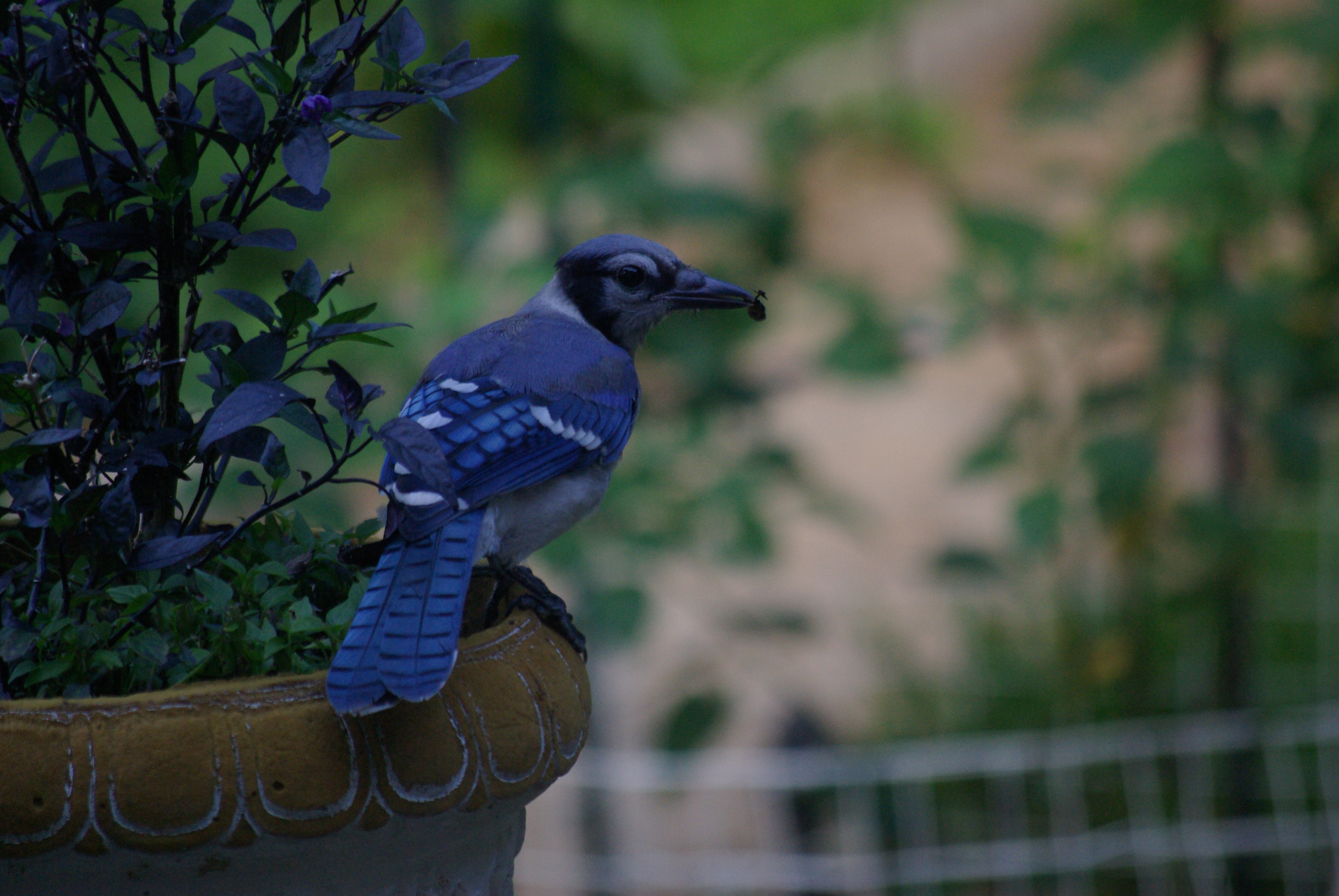With her prize, the blue jay heads for its dining area in the live oak.