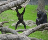 Most playful baby chimpanzees we've ever seen