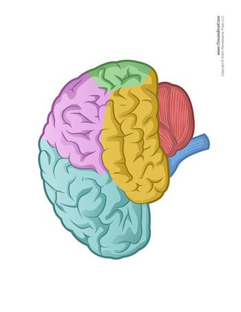 Blank Brain Diagram : blank, brain, diagram, Brain, Diagram, Blank, Human, Anatomy