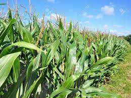 ADMARC IN THE RED; NO ENOUGH CASH TO PURCHASE MAIZE