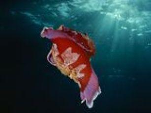 nudibranchs01-spanish-dancer_18171_160x120