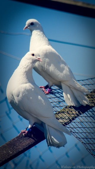 Two Doves Together