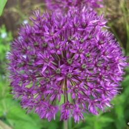 Allium - Viol