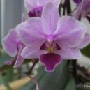 Phaleonopsis?