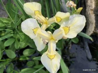 25.5. Iris im Teich