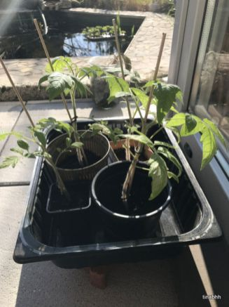 4 Tomatenpflanzen