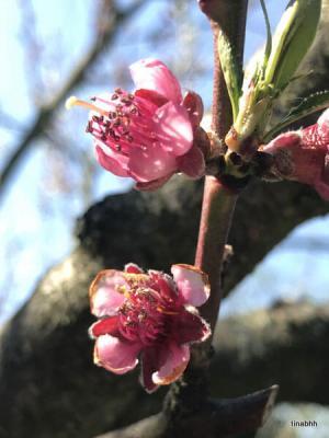 Blüte des Weinbergpfirsichs
