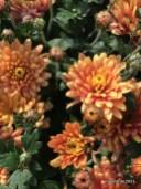 Chrysanthemen - Herbstboten