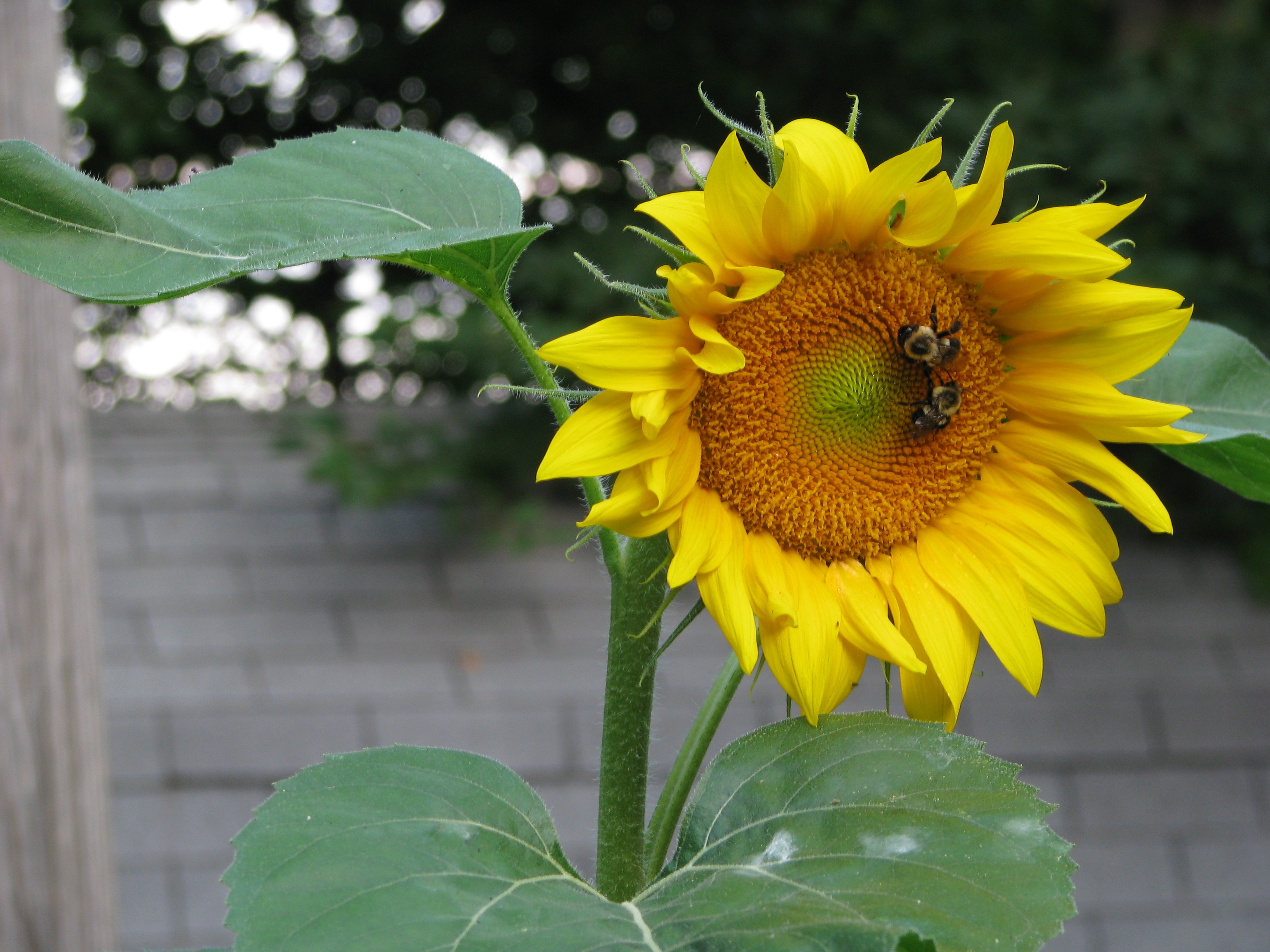 """I""""ve been trying to grown sunflowers for years, and finally managed to get a few."""
