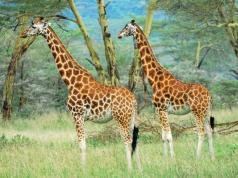 Masai Mara animals giraffe