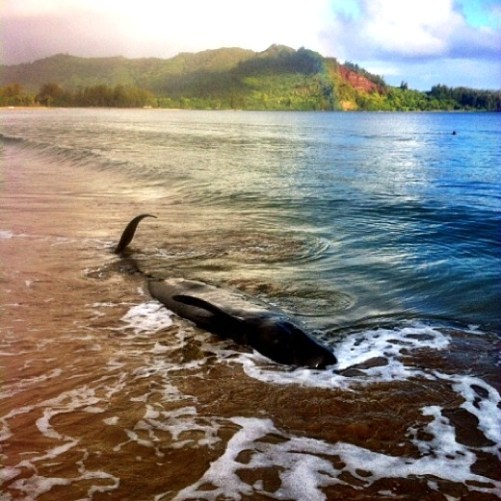 Every two years pilot whales and turtles wash ashore in numbers during RIMPAC exercises.