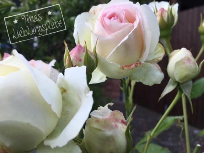 Garten_rosaRose
