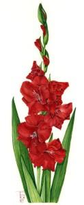 0902 Red Gladioli