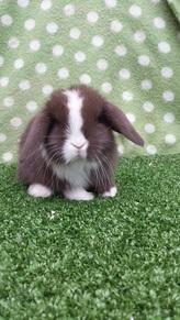 Mini Lop Rabbits For Sale Near Me : rabbits, Patron, Urvat, Bunnies, Richmondfuture.org