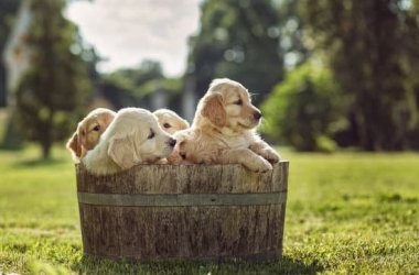 Golden Retriever Puppies in a Barrel