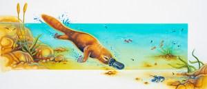 Platypus illustration by artist Tina Wilson