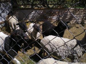 Las ovejas de Raquel, en Mamiña