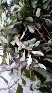Canelo, arbre sacré des Mapuche