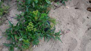 Plante à jaune appelée