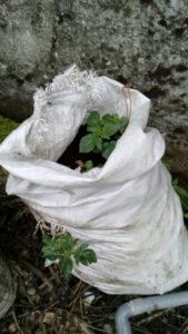 Pommes de terre qui poussent dans un sac de déchets de laine brute
