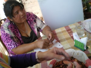 Séparation des graines des gousses de tara lors du cours à Pica