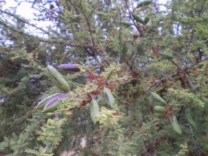 Graines d'espino (acacia) pas encore mûres