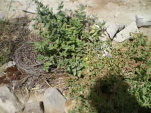 Menthe avec paillage de déchets de laine de llama et restes végétaux de teinture naturelle