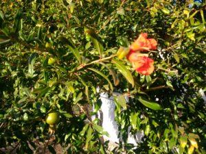 Grenadier en fleur, avec quelques fruits en formation, bonne plante à tanins